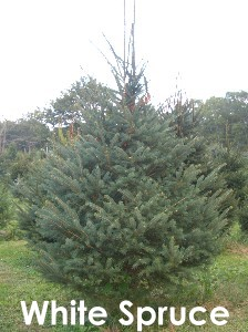 we will provide you with everything you need to choose and cut you perfect tree bow saws trailor rides back netting loading and tying assistance - White Spruce Christmas Tree